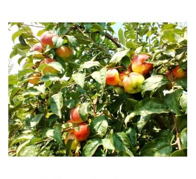 Dulceata din mere ecologice dulce-acrisoara borcan 380gr