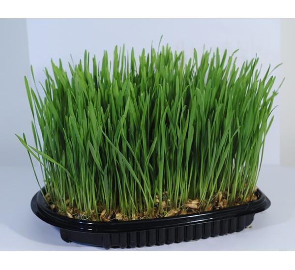 iarba împotriva varicoasei)